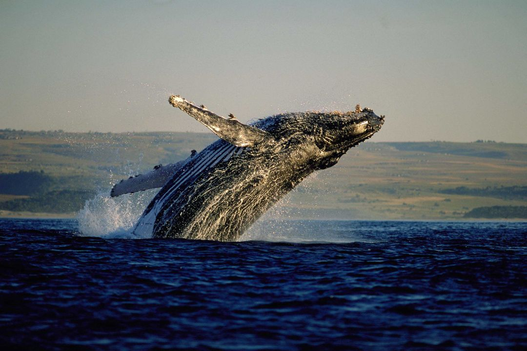 01301778 Whale Watching S Africa